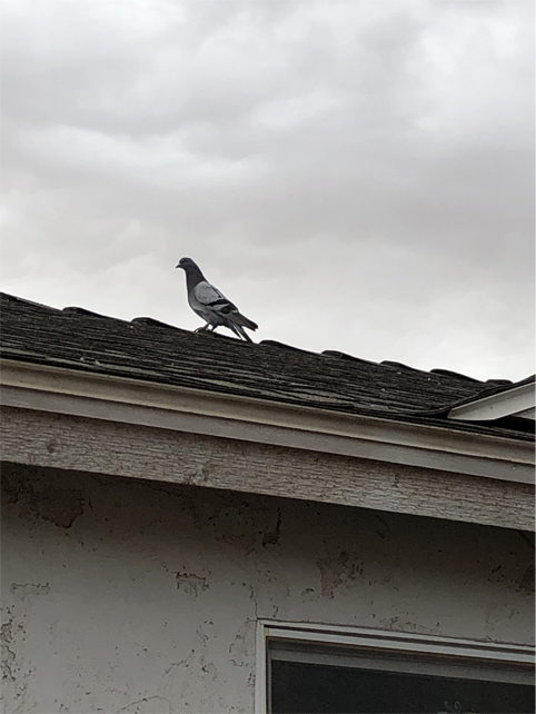 Pigeon all alone on rooftop