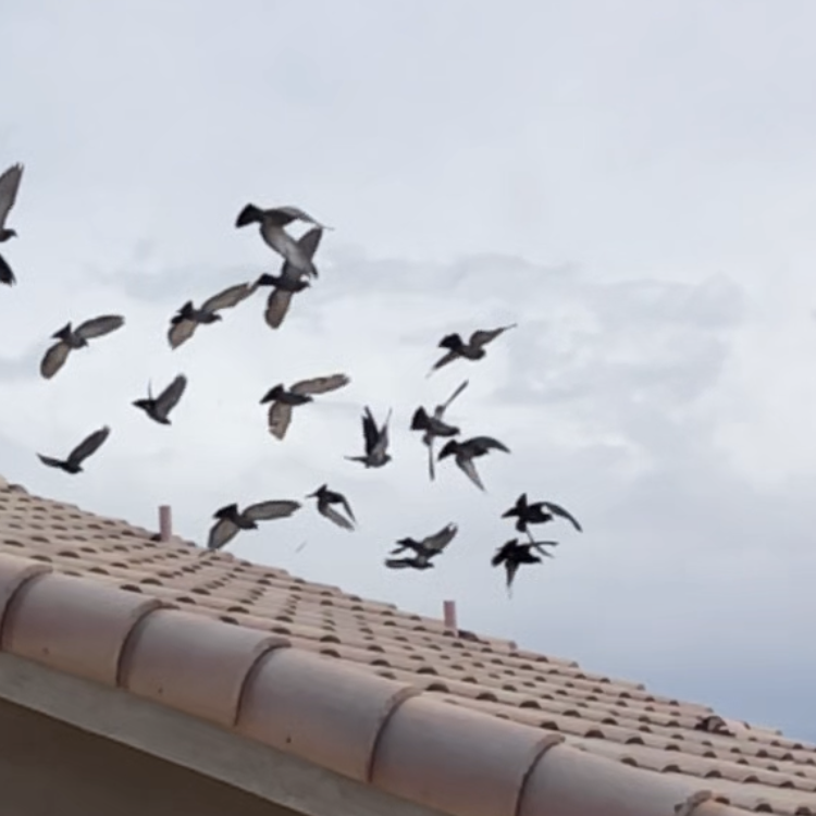 Pigeons flying above a residential home in Phoenix Arizona